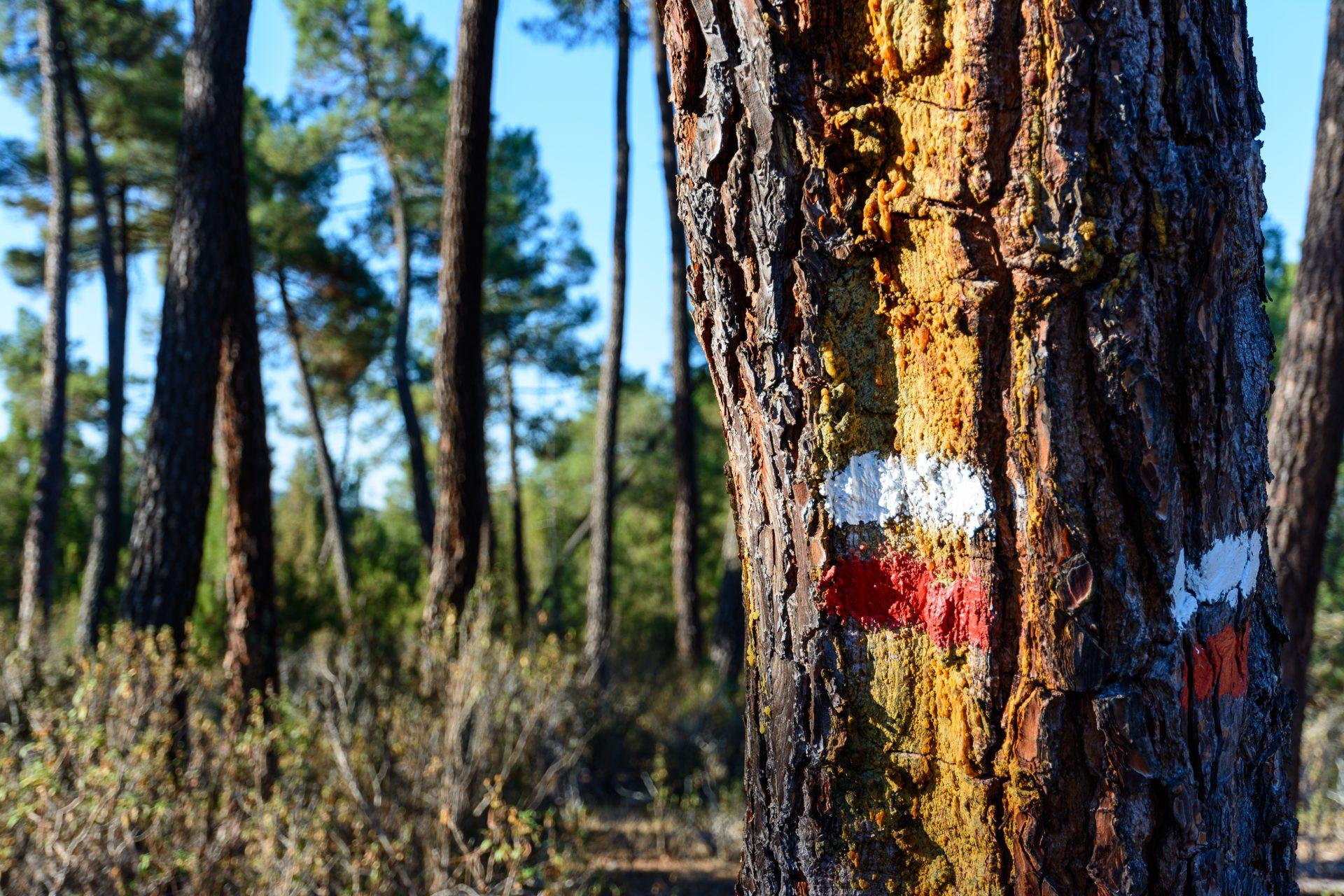 Andaluz. Los pinares de pino resinero