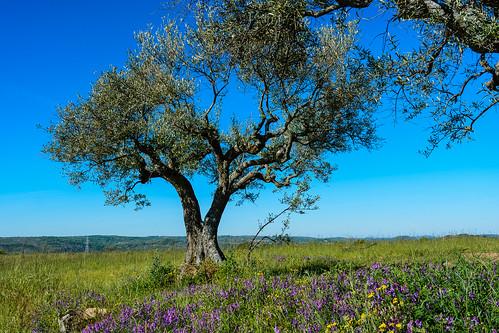 Cultivo de olivos