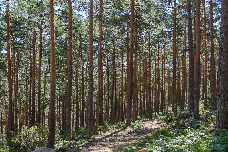 Fuentes del Duero: Bosque de pino albar