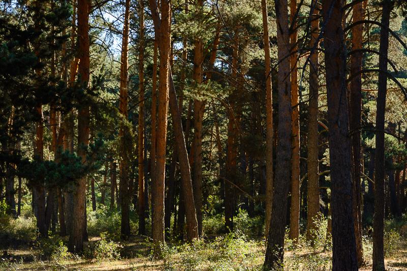 Vinuesa: Bosque de pino albar