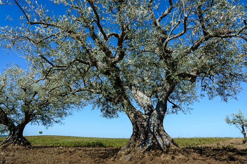 Fermoselle: Cultivo de olivos