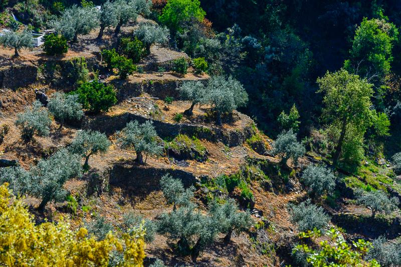 Aldeadávila de la Ribera: Bancales de olivos